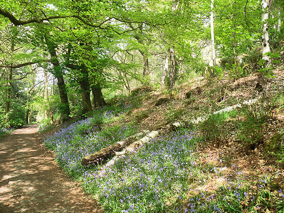 bluebells near Matlock